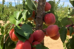 Plenty of homegrown fruit - now also apricots