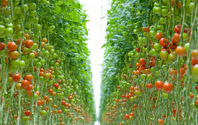 Wide range of tomatoes from own crops.