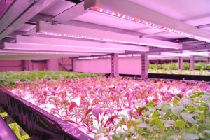 Growing lettuce without a ray of sunshine