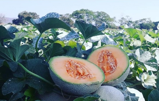 Costa Rican melons: 100% traceability guaranteed.