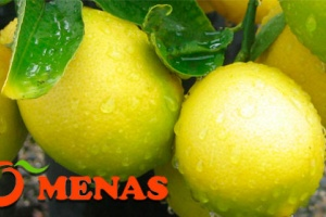 Menas: our citrus partner in Turkey