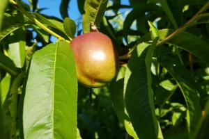 First Spanish stone fruits expected.